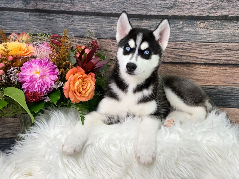 Siberian Husky-Female--2863746-The Barking Boutique