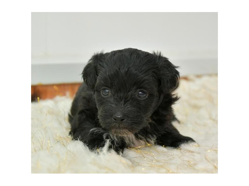 Havachon-Female-Black-2873494-The Barking Boutique