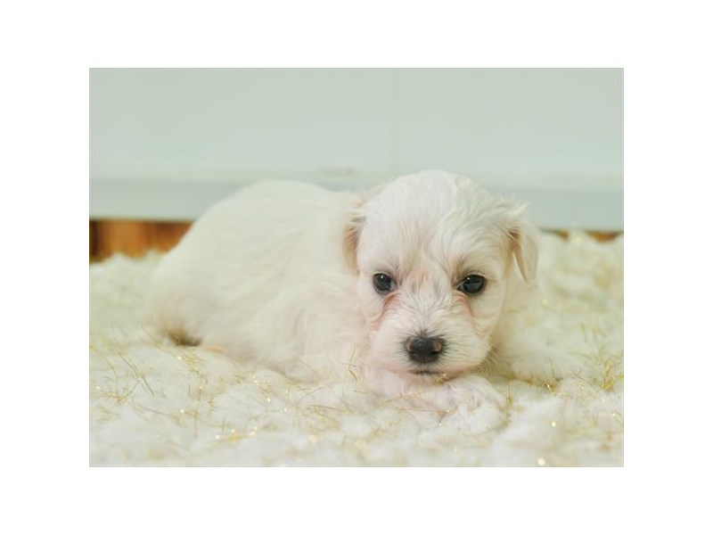 Havachon-Male-White-2873495-The Barking Boutique