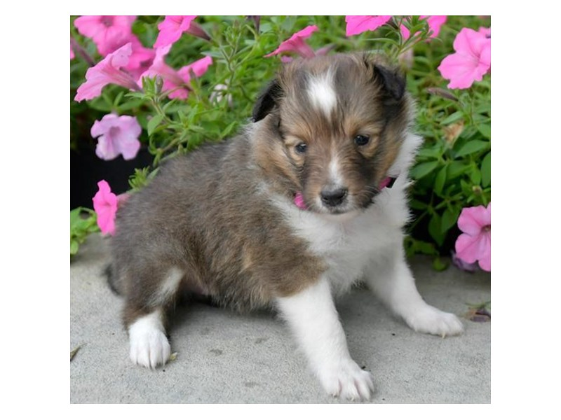 Shetland Sheepdog-Female-Sable / White-2873498-The Barking Boutique