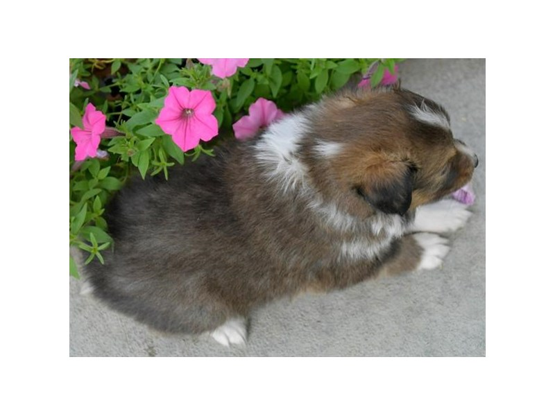 Shetland Sheepdog-Female-Sable / White-2873499-The Barking Boutique