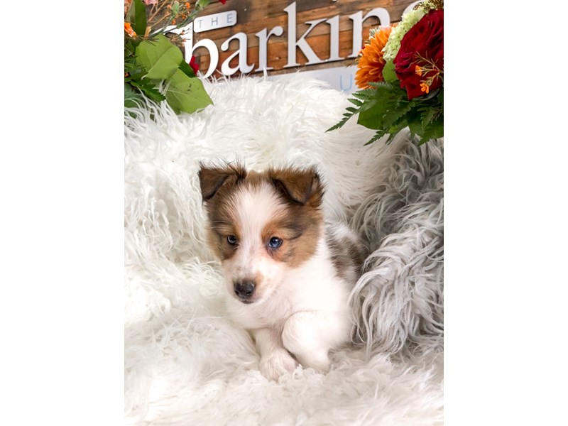 Shetland Sheepdog-Male-Sable / White-2873497-The Barking Boutique