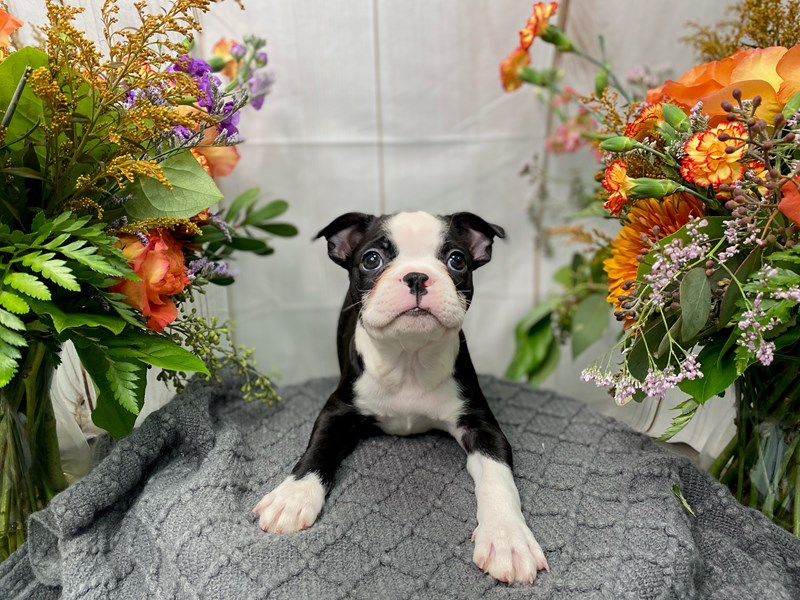 Boston Terrier-Male-Black / White-2873464-The Barking Boutique