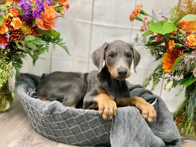 Doberman Pinscher-Male-Blue / Rust-2873471-The Barking Boutique