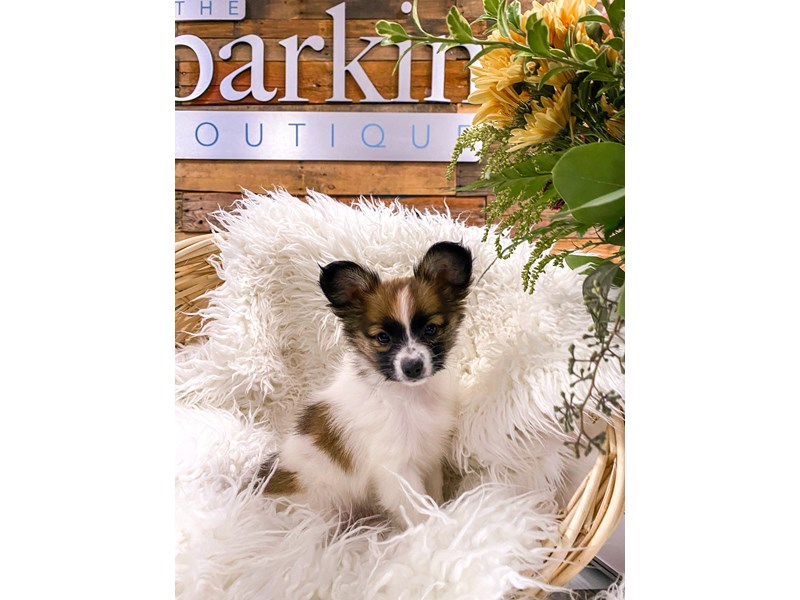 Papillon-Female-sable and white-2877730-The Barking Boutique