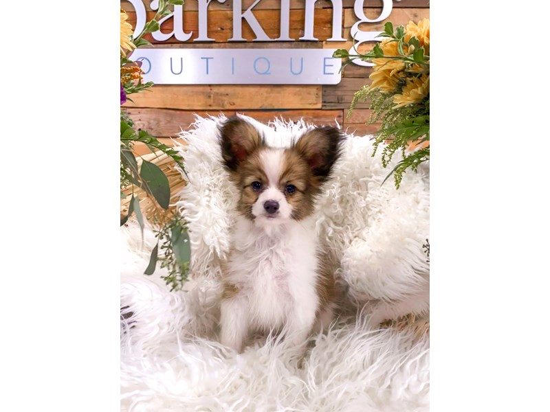 Papillon-Male-Brown and White-2877726-The Barking Boutique