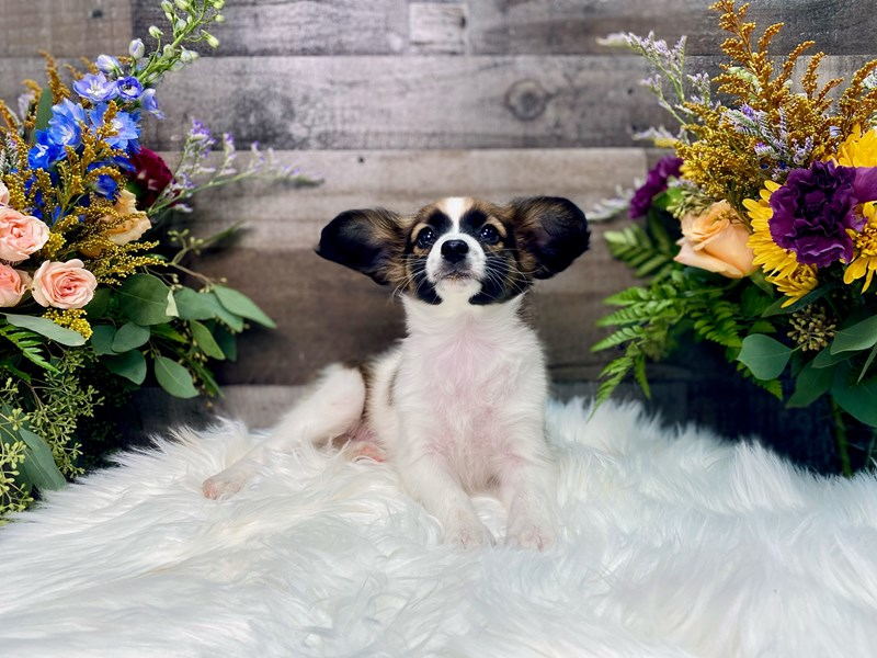 Papillon-Female-sable white-2877642-The Barking Boutique