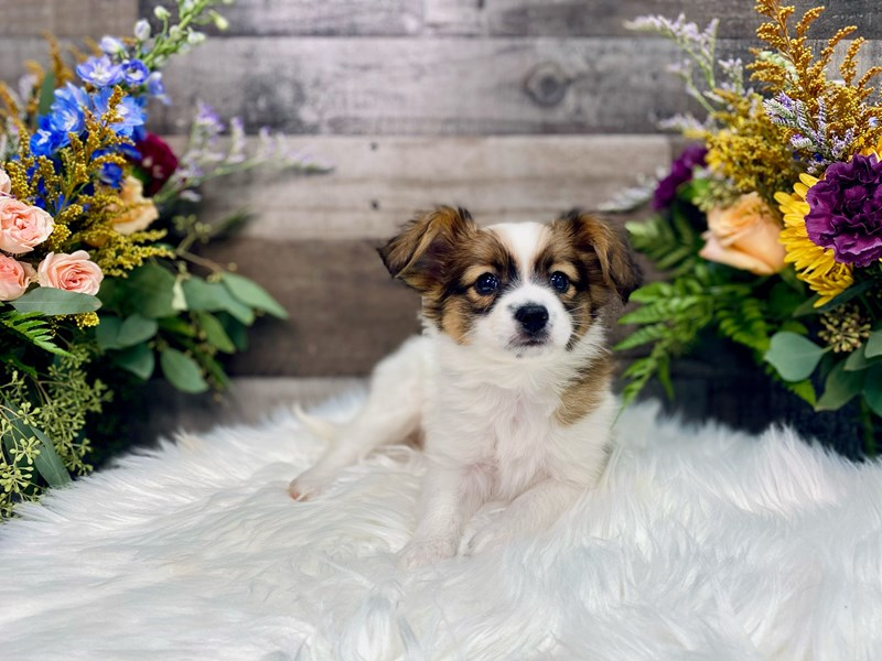 Papillon-Male-sable white-2877580-The Barking Boutique