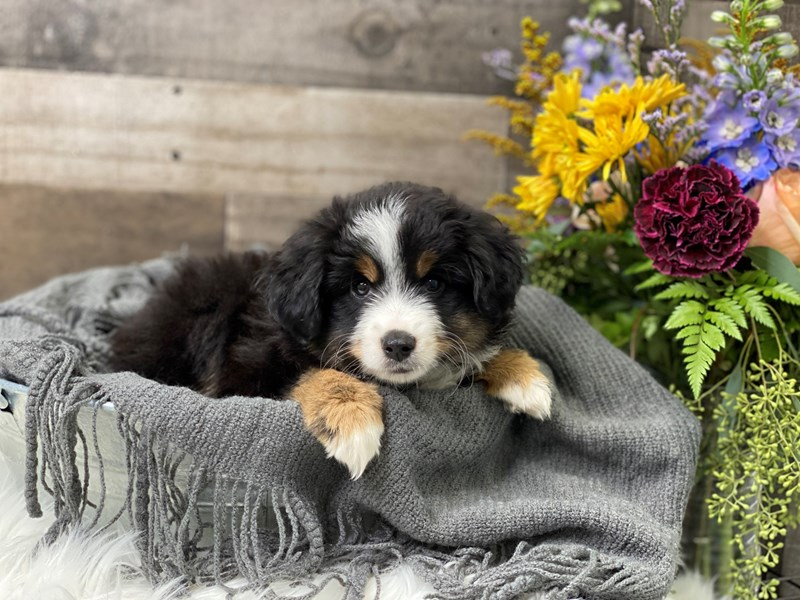 Mini Australian Shepherd-Male-Black / White-2880526-The Barking Boutique