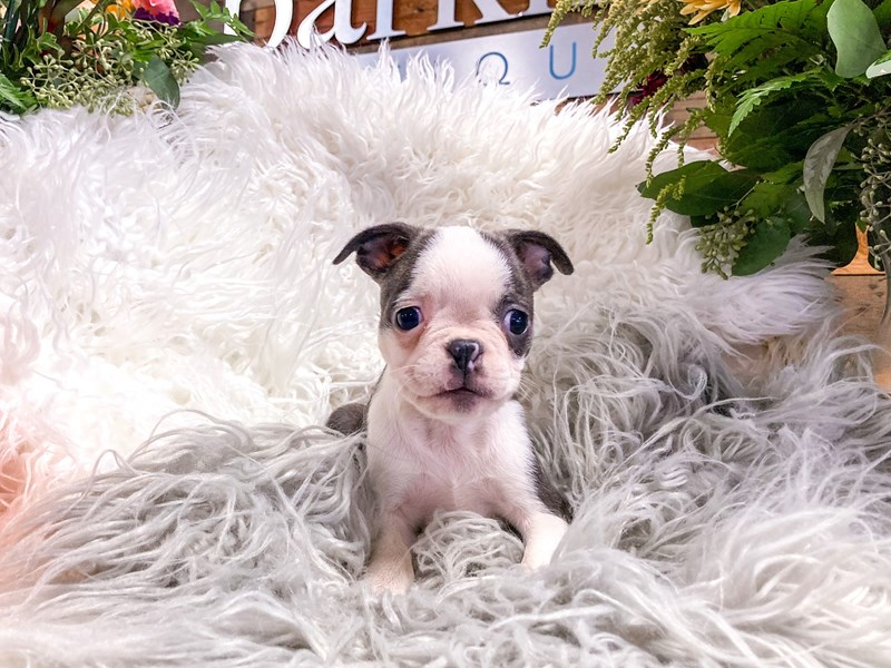 Boston Terrier-Female-Blue / White-2880527-The Barking Boutique