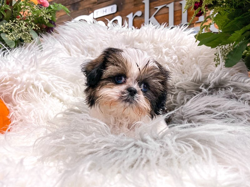 Shih Tzu-Male-Brown / White-2880533-The Barking Boutique