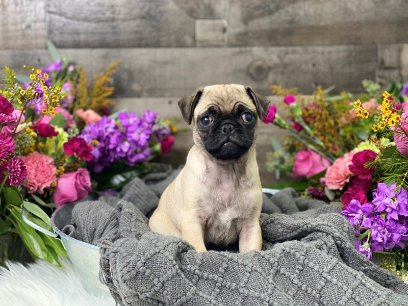 Pug-Female-fawn-2884630-The Barking Boutique