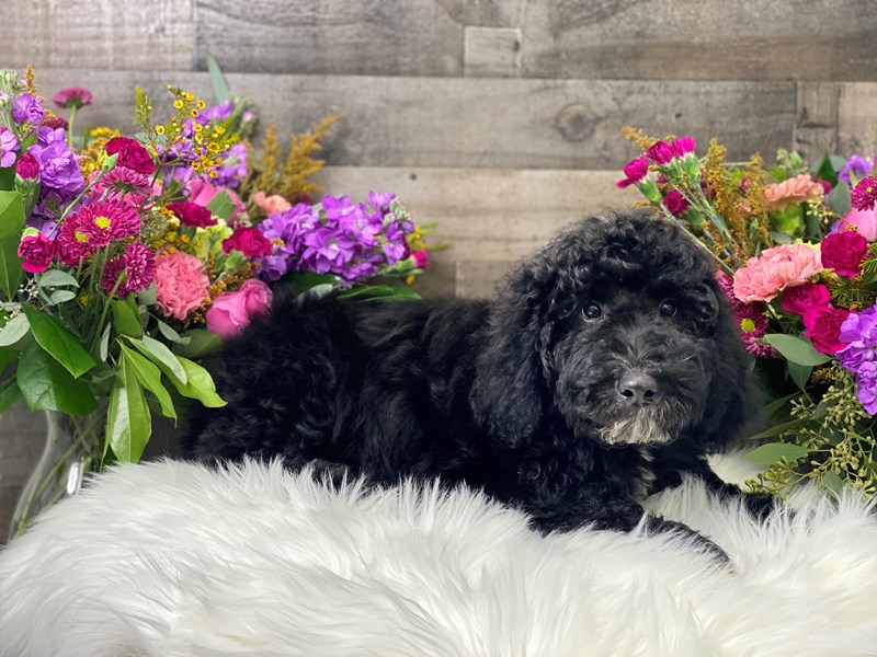 F1B Mini Labradoodle-Male-black and white-2884677-The Barking Boutique