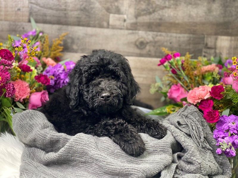 F1B Mini Labradoodle-Female-black-2884671-The Barking Boutique
