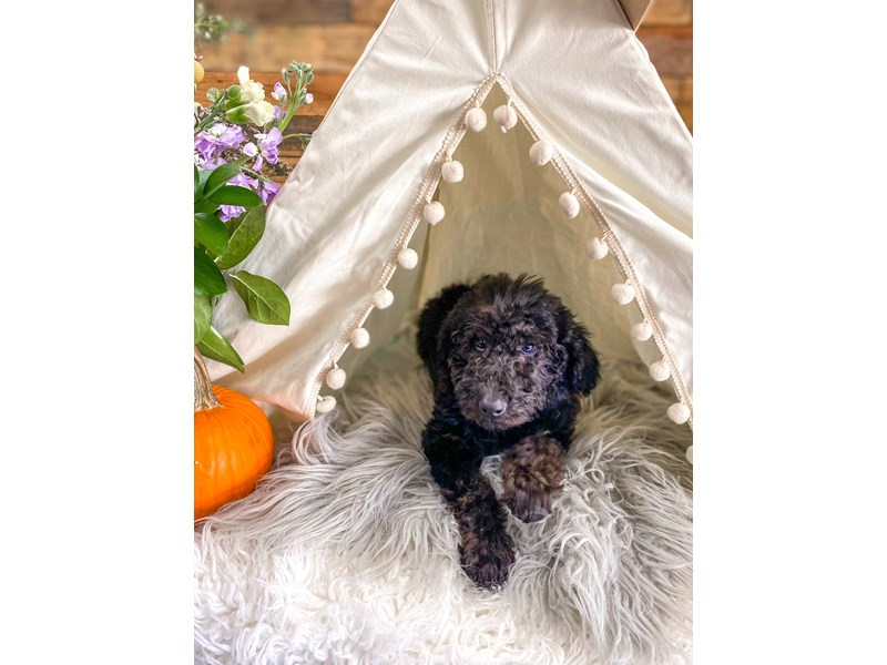 F1B Mini Labradoodle-Female-black-2884737-The Barking Boutique