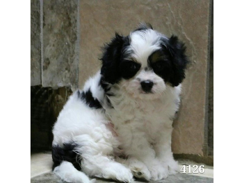 Cavalier King/Poodle-Male-Tri-Colored-2887261-The Barking Boutique