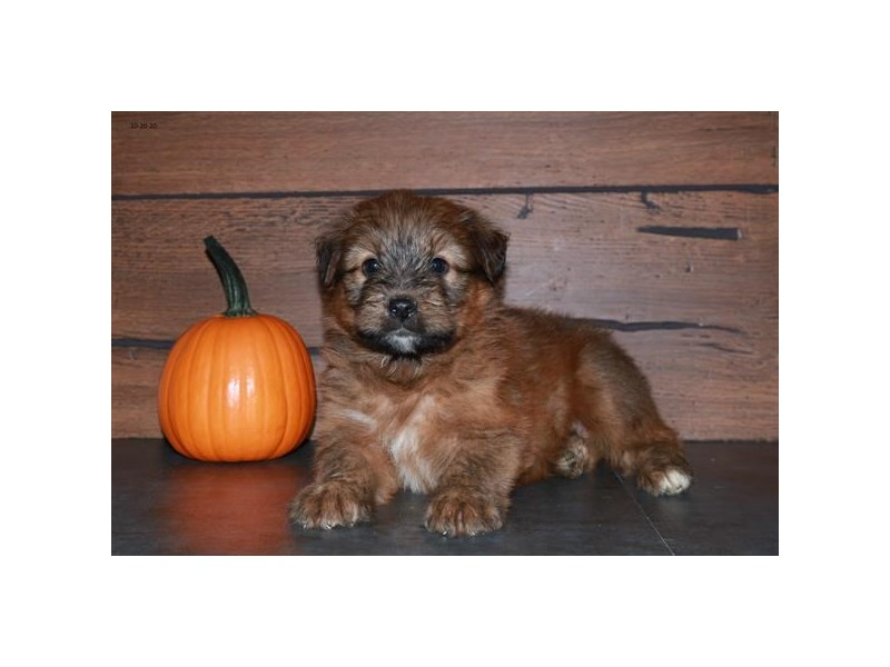 Soft Coated Wheaten Terrier-Male-Wheaten-2887263-The Barking Boutique