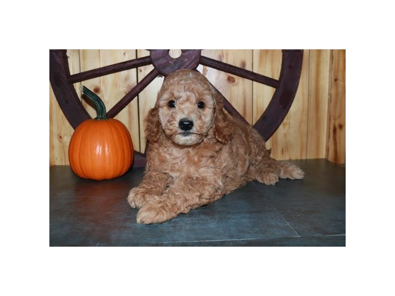 Goldendoodle Mini 2nd Gen-Female-Red-2887265-The Barking Boutique