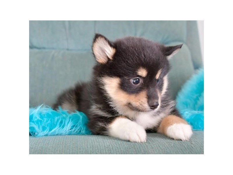 Pomsky-Female-Black Tan / White-2887269-The Barking Boutique
