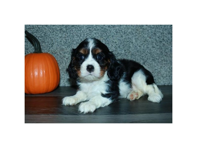 Cavalier King Charles Spaniel-Female-Tri-Colored-2887270-The Barking Boutique