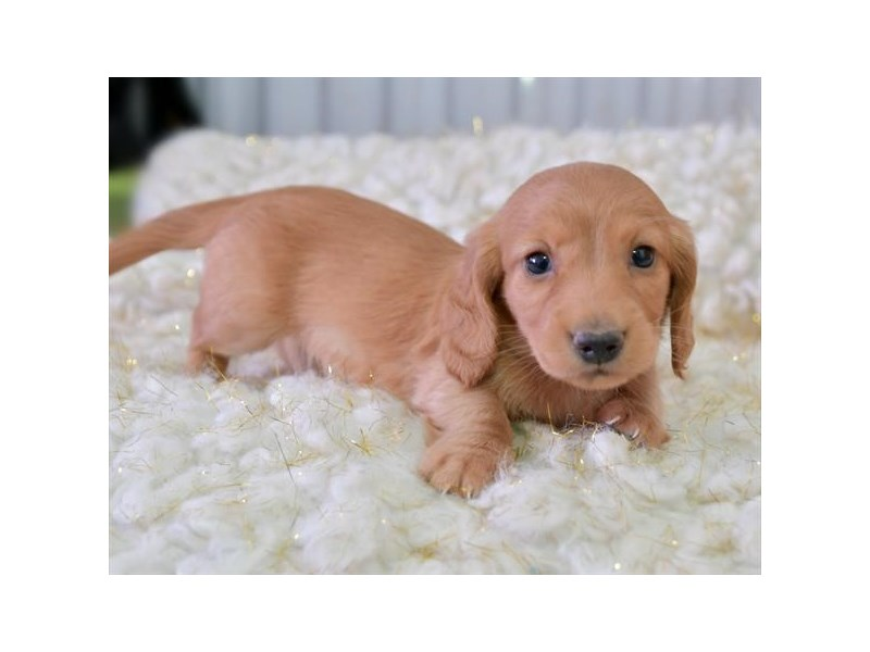 Dachshund-Male-Red-2887273-The Barking Boutique