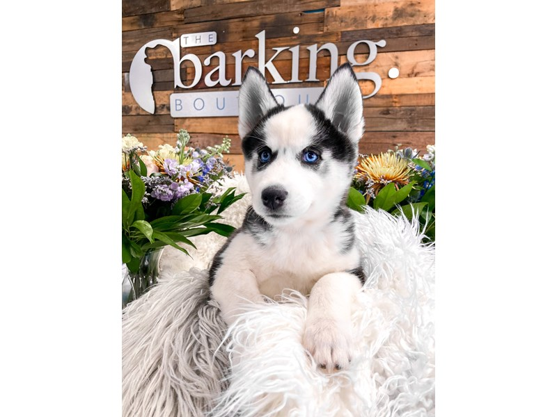 Siberian Husky-Female-Black / White-2887271-The Barking Boutique