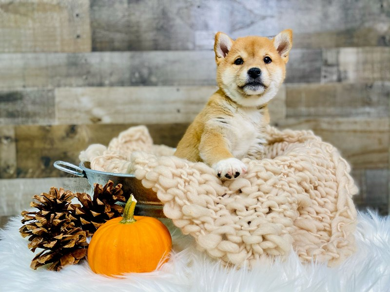 Shiba Inu-Male-Red-2887266-The Barking Boutique