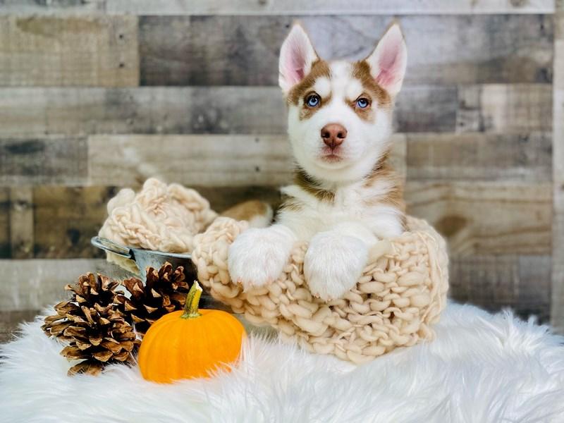 Siberian Husky – Lurch