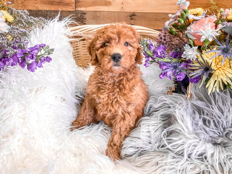 F1B Mini Goldendoodle – Pokey