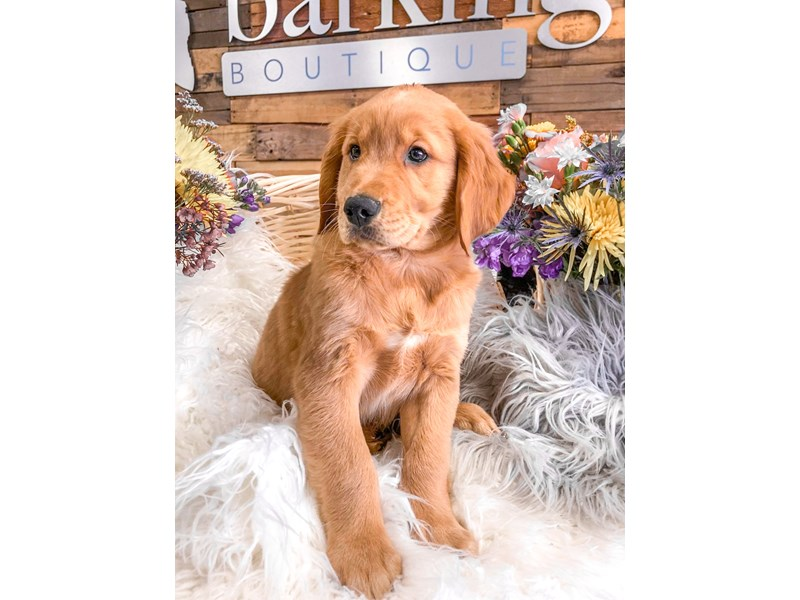 Golden Retriever-Male-Golden-2891136-The Barking Boutique