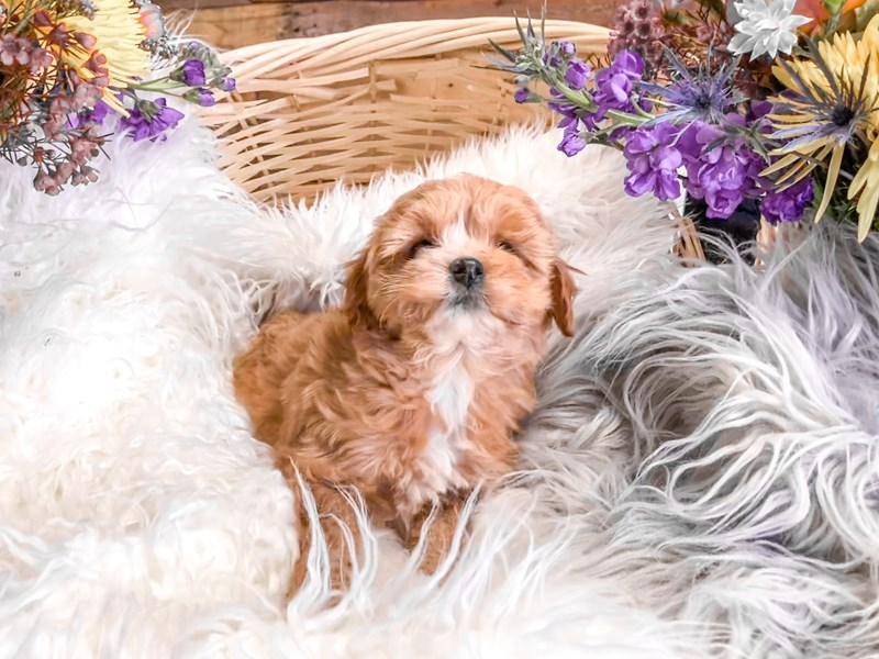F1b Cavapoo-Male-Tan and White-2891122-The Barking Boutique