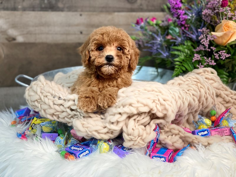 F1B Goldendoodle-Female-Red-2891121-The Barking Boutique