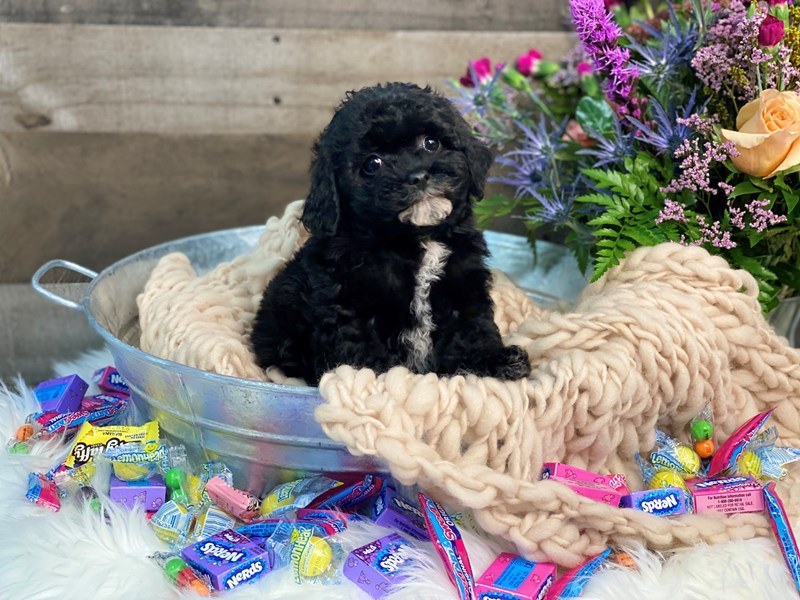F1b Cavapoo-Female-black-2891108-The Barking Boutique