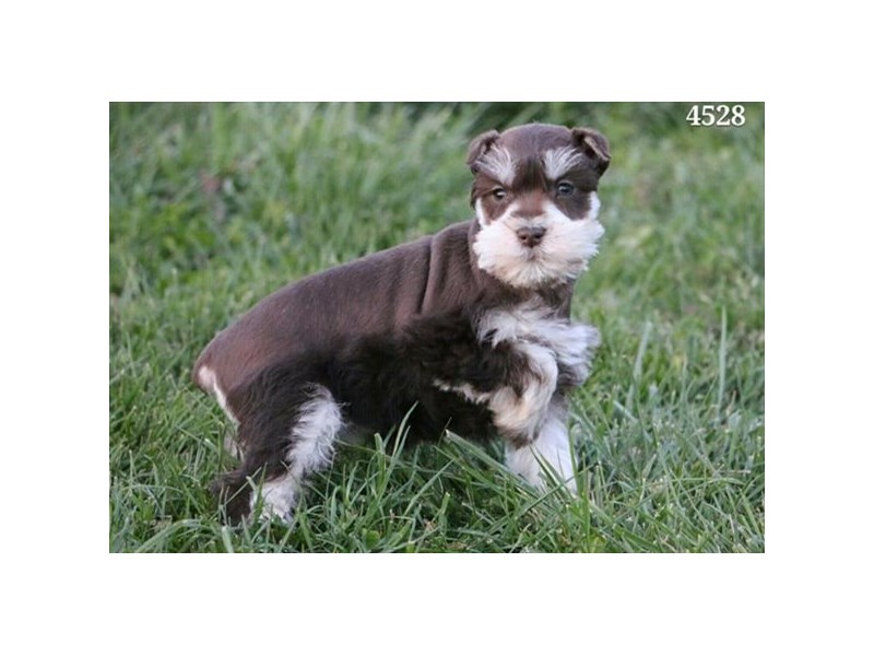 Miniature Schnauzer-Female-Chocolate / Tan-2893917-The Barking Boutique