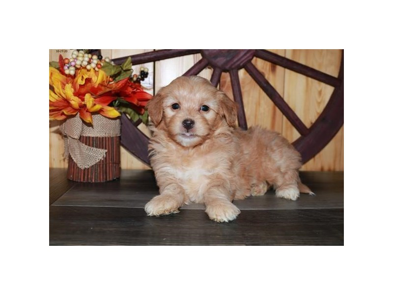 Goldendoodle Mini 2nd Gen-Female-Red-2893924-The Barking Boutique