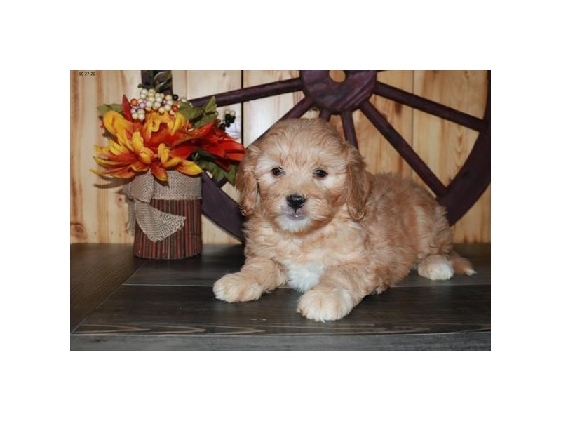 Goldendoodle Mini 2nd Gen-Male-Apricot-2893925-The Barking Boutique