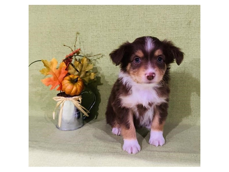 Australian Shepherd-Female-Chocolate / White-2893929-The Barking Boutique