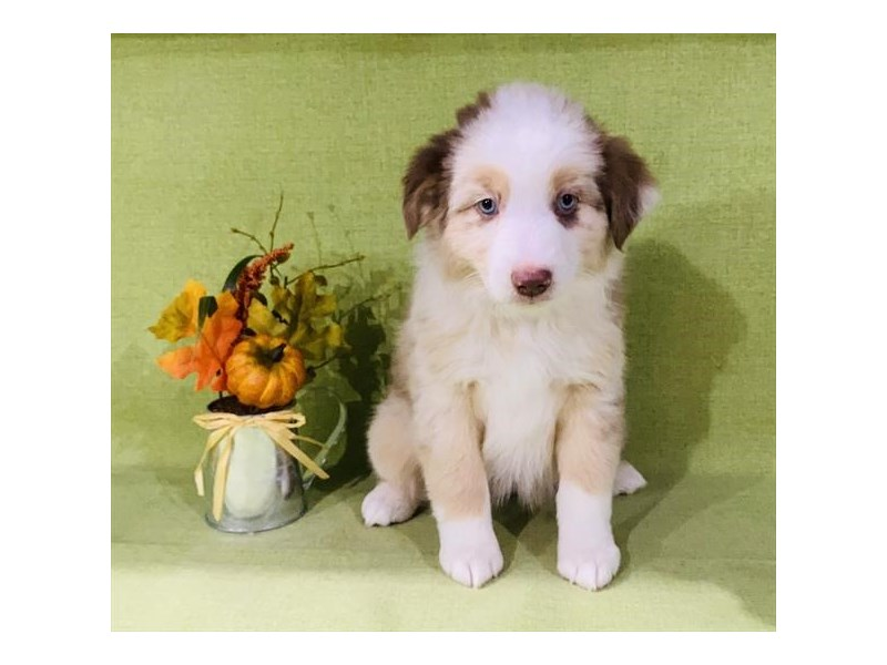 Australian Shepherd-Female-Red Merle / White-2893964-The Barking Boutique