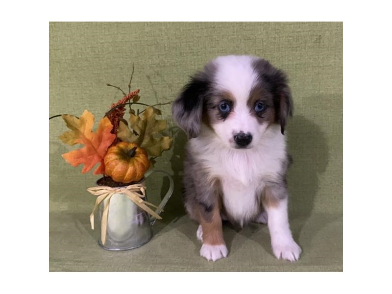 Miniature Australian Shepherd-Female-Blue Merle / White-2893965-The Barking Boutique