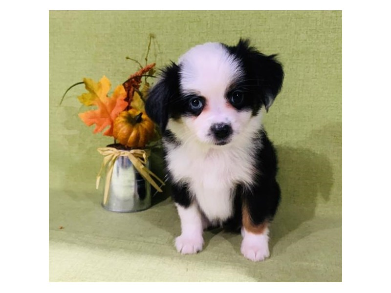 Miniature Australian Shepherd-Female-Black Tan / White-2893967-The Barking Boutique