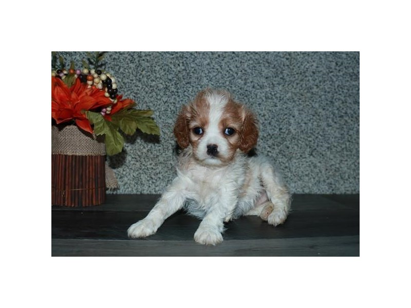 Cavachon-Female-Blenheim / White-2893969-The Barking Boutique