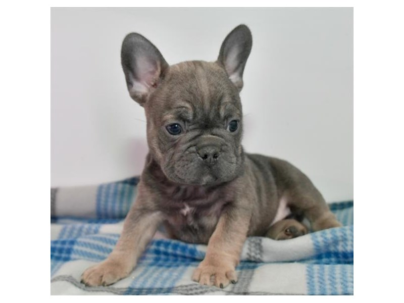 French Bulldog-Female-Blue Fawn-2893974-The Barking Boutique
