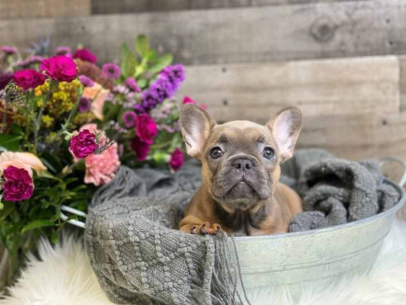 French Bulldog-Female-Blue Fawn-2893976-The Barking Boutique