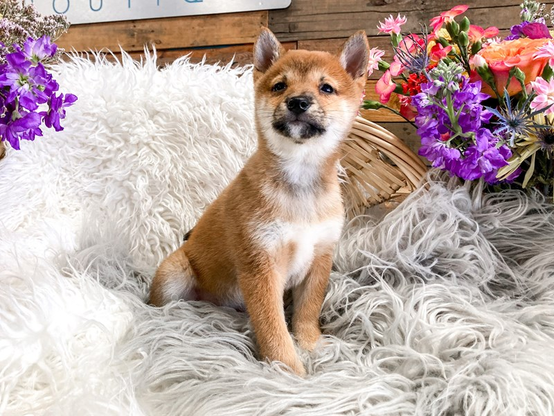 Shiba Inu-Female-Brown-2893972-The Barking Boutique