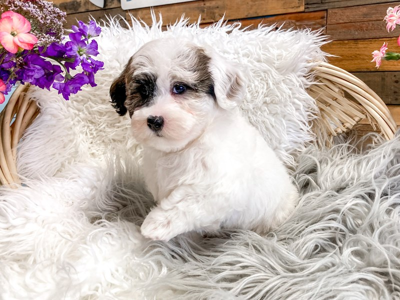 Havanese-Male-White / Chocolate-2893919-The Barking Boutique