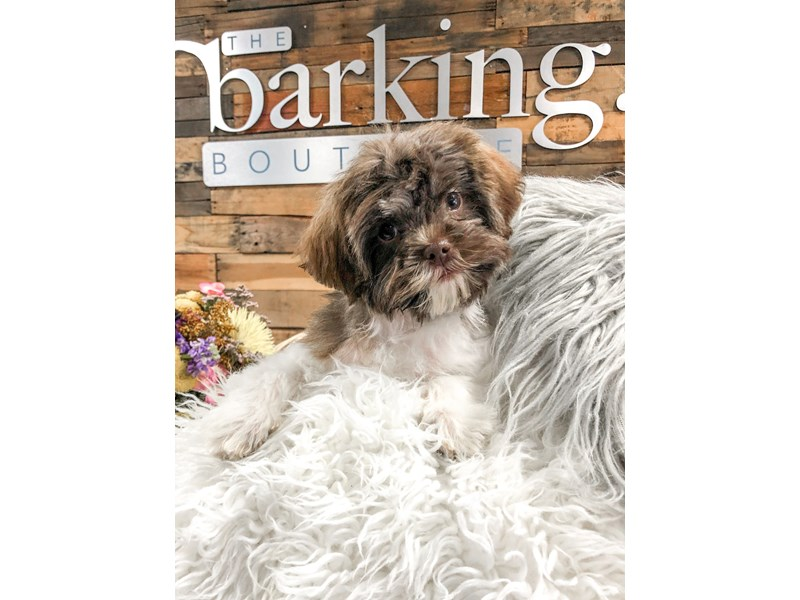 Shipoo-Male--2899354-The Barking Boutique