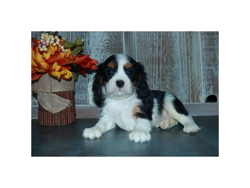 Cavalier King Charles Spaniel-Male-Black Tan / White-2901065-The Barking Boutique