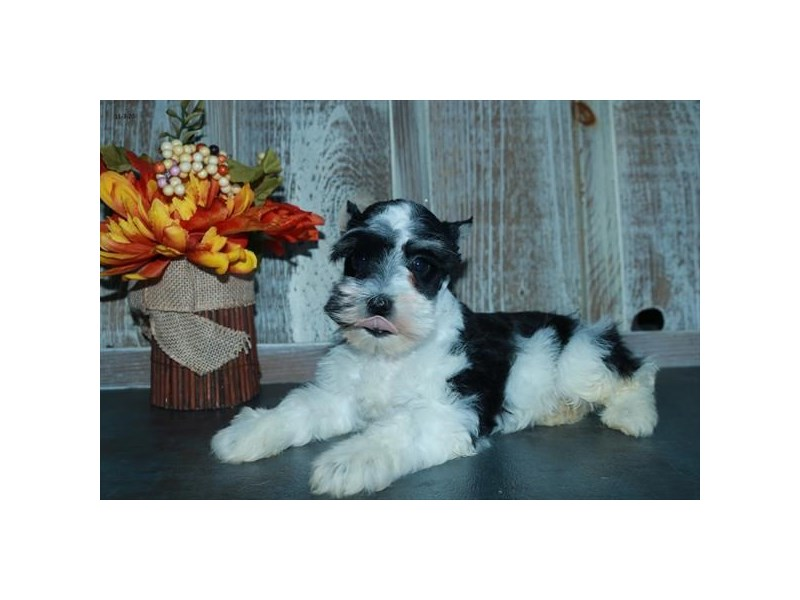 Miniature Schnauzer-Male-Black / White-2901068-The Barking Boutique