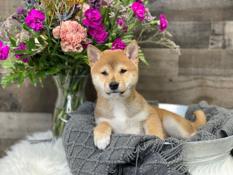 Shiba Inu-Female-Red-2901066-The Barking Boutique