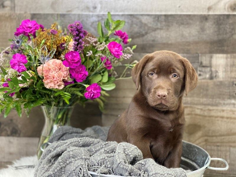 Labrador Retriever-Male-Chocolate-2901100-The Barking Boutique